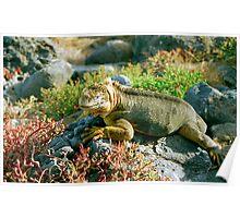 Land Iguana, Galapagos Islands, Ecuador Poster