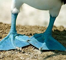 Blue Footed Booby Bird Feet, Isla de la Plata, Ecuador by Paris Lee