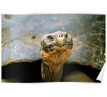 Giant Tortoise 'Lonesome George', Galapagos Islands, Ecuador Poster