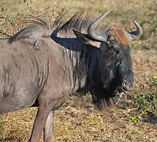 Wildebeest, Khama Rhino Sanctuary, Botswana, Africa by Adrian Paul