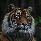 Tiger portrait by Stuart Ryan