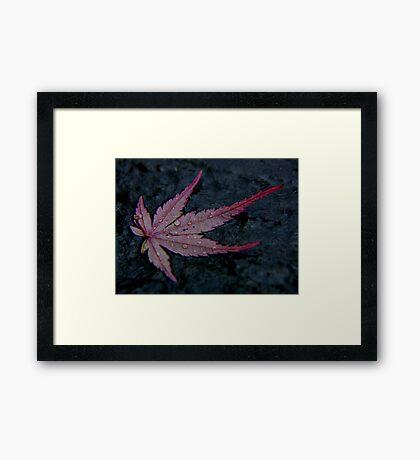 wet autumn acer leaf on slate ... Framed Print