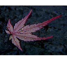 wet autumn acer leaf on slate ... Photographic Print