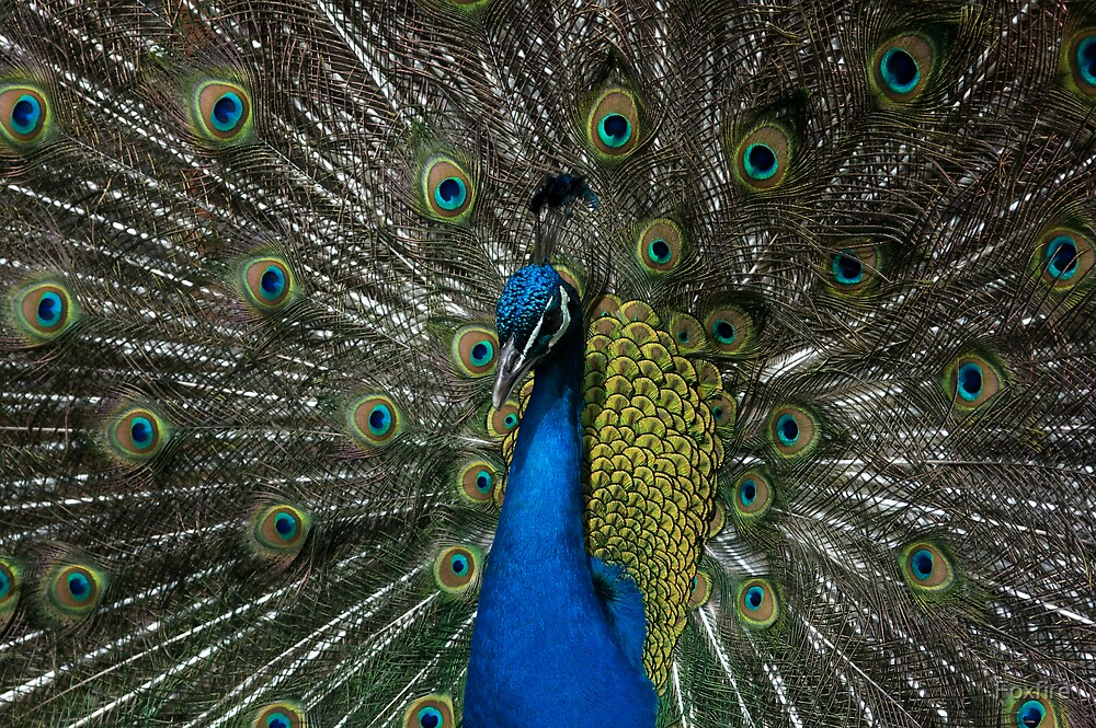 Peacock by ©FoxfireGallery / FloorOne Photography