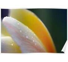 Closeup Plumeria Poster