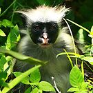 Red Monkey of Zanzibar by maureenclark