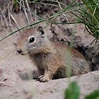 CHIPMUNK by Barbara Anderson