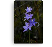 Scented Sun Orchid (thelymitra macrophylla) Canvas Print