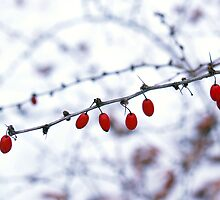 Barberry on Snowy Day by Anna Lisa Yoder