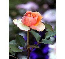 Single Stemmed Rose Photographic Print