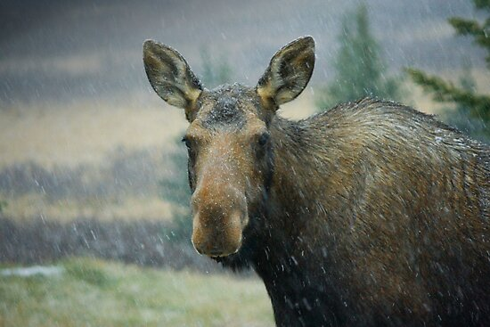 Moose in a Snowstorm by EchoNorth