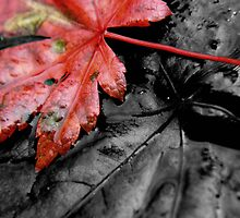 fallen autumn leaf ... by SNAPPYDAVE