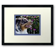 Australian Shepherd Apr Framed Print