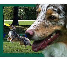 Australian Shepherd Mar Photographic Print