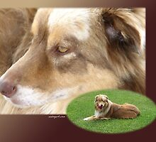 Australian Shepherd  May by Andrea Trotter
