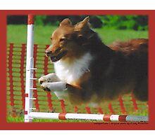 Australian Shepherd Aug Photographic Print
