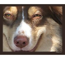 Australian Shepherd Jul Photographic Print