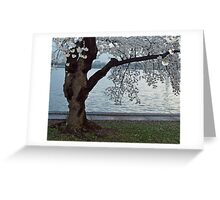 Cherry Blossoms, Washington D.C. - Old Jap. Cherry Tree Greeting Card
