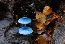 Tiny life in Myrtle forest, Tasmania by tasadam