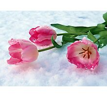 Tulips & Snow Photographic Print