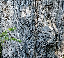 Cottonwood Tree by BHarrisonArts