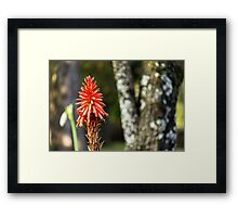 Red Hot Poker (Kniphofia) Framed Print