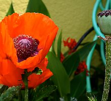 Poppy, Garden Hose by bigtiny