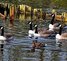 Canadian Geese at Mangerton Lake, Dorset UK by lynn carter