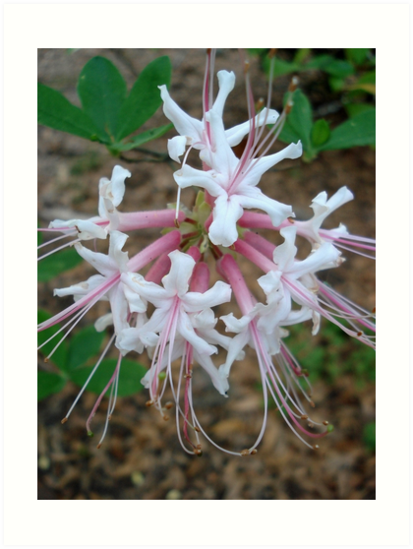 Swamp Azalea (Rhododendron viscosum) by May Lattanzio