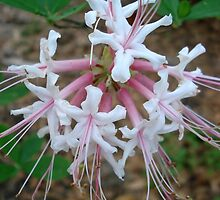 Swamp Azalea (Rhododendron viscosum) by May Lattanzio