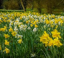 Daffodils by mlphoto