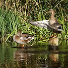 Stretch-and-flap duck routine by MooseMan