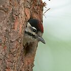Great spotted woodpecker by Minne