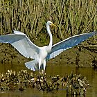 Great White Egret Lands by imagetj