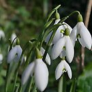 Snowdrops - signs of Spring by Rivendell7
