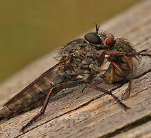Robberfly by Robert Abraham