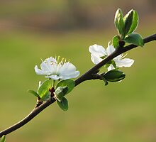 Apple Blossom by petegd