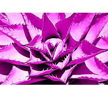 Pink Cactus Photographic Print