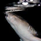 Nurse Shark at Night by Philmed