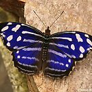 Blue Wave Butterfly by Robert Abraham