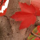 Red Maple Leaves, November by Anna Lisa Yoder