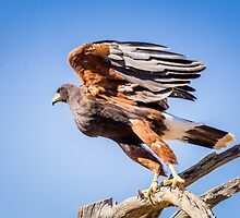Harris's Hawk About to Launch by Robert Kelch, M.D.