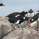 Gentoo penguins, nesting and bickering by cascoly
