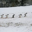6 gentoo penguins, heading back to their nests by cascoly