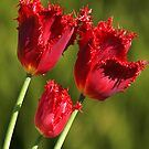Red Frilled Tulips by Bev Pascoe