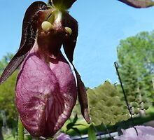 Pink Lady Slipper by MaeBelle