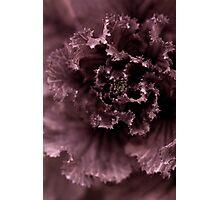 Ornamental Cabbage #1 Photographic Print