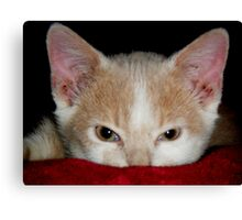 Wild Bill Hickock Kitten claiming a comfy spot Canvas Print