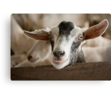 Taking the Goat 1 Canvas Print