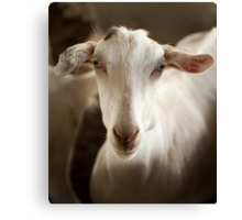 Taking the Goat 3 Canvas Print